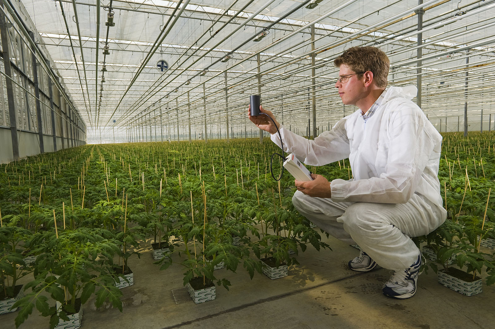 Man testing tomato plants in greenhouse